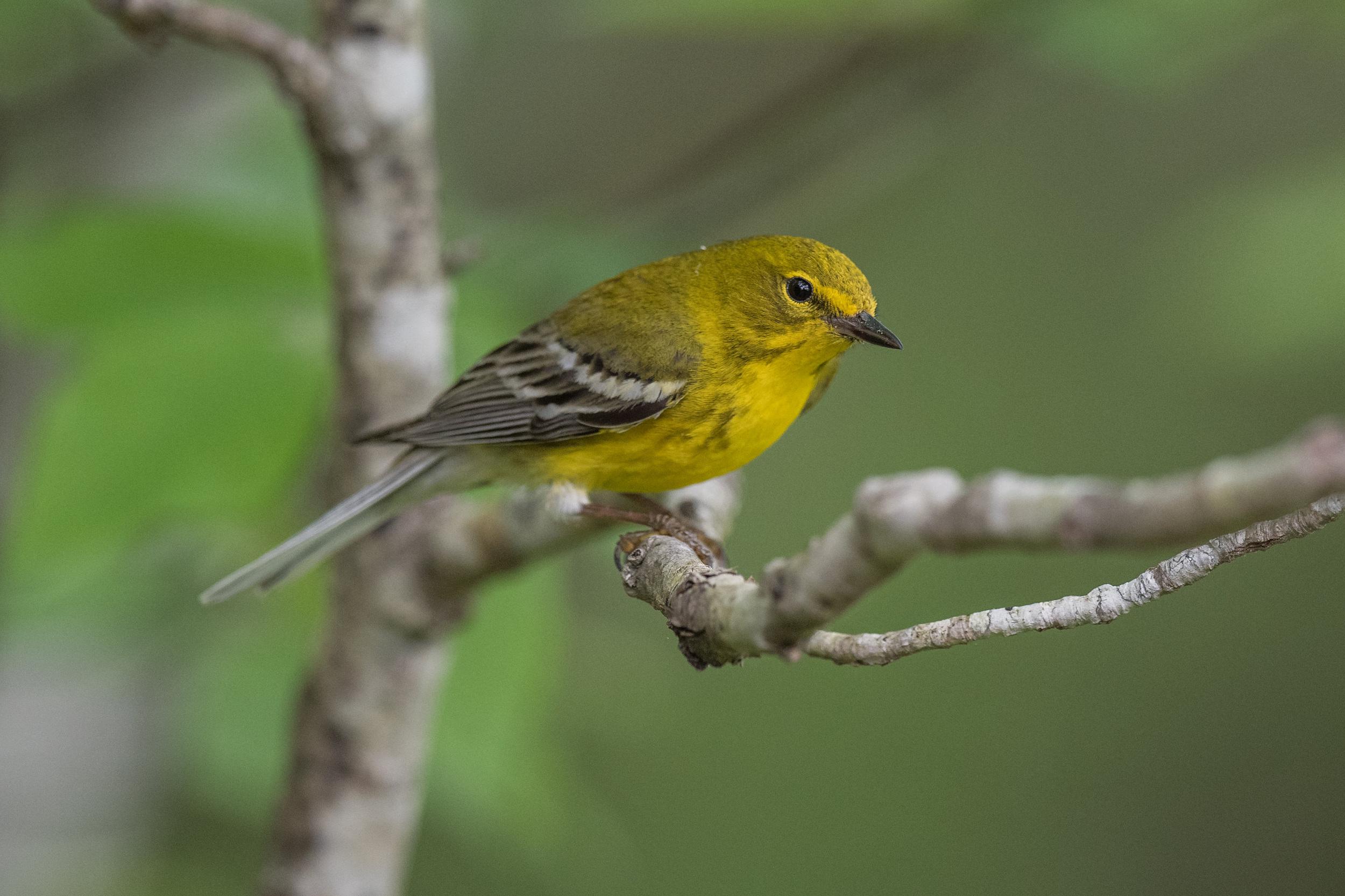 Pine Warbler (Setophaga pinus), Red River Gorge - Rock Bridge Road, WOL (KY)