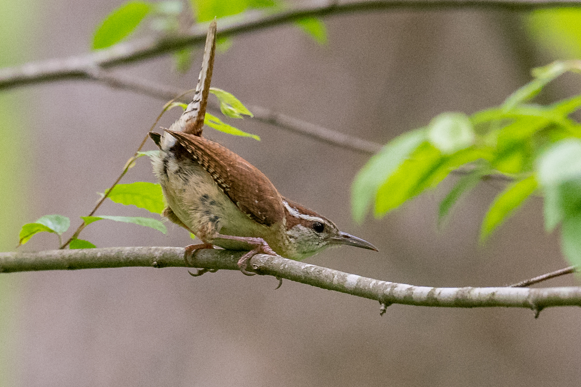 Carolina Wren (Thryothorus ludovicianus), Rocky Fork Road, SCI (OH)
