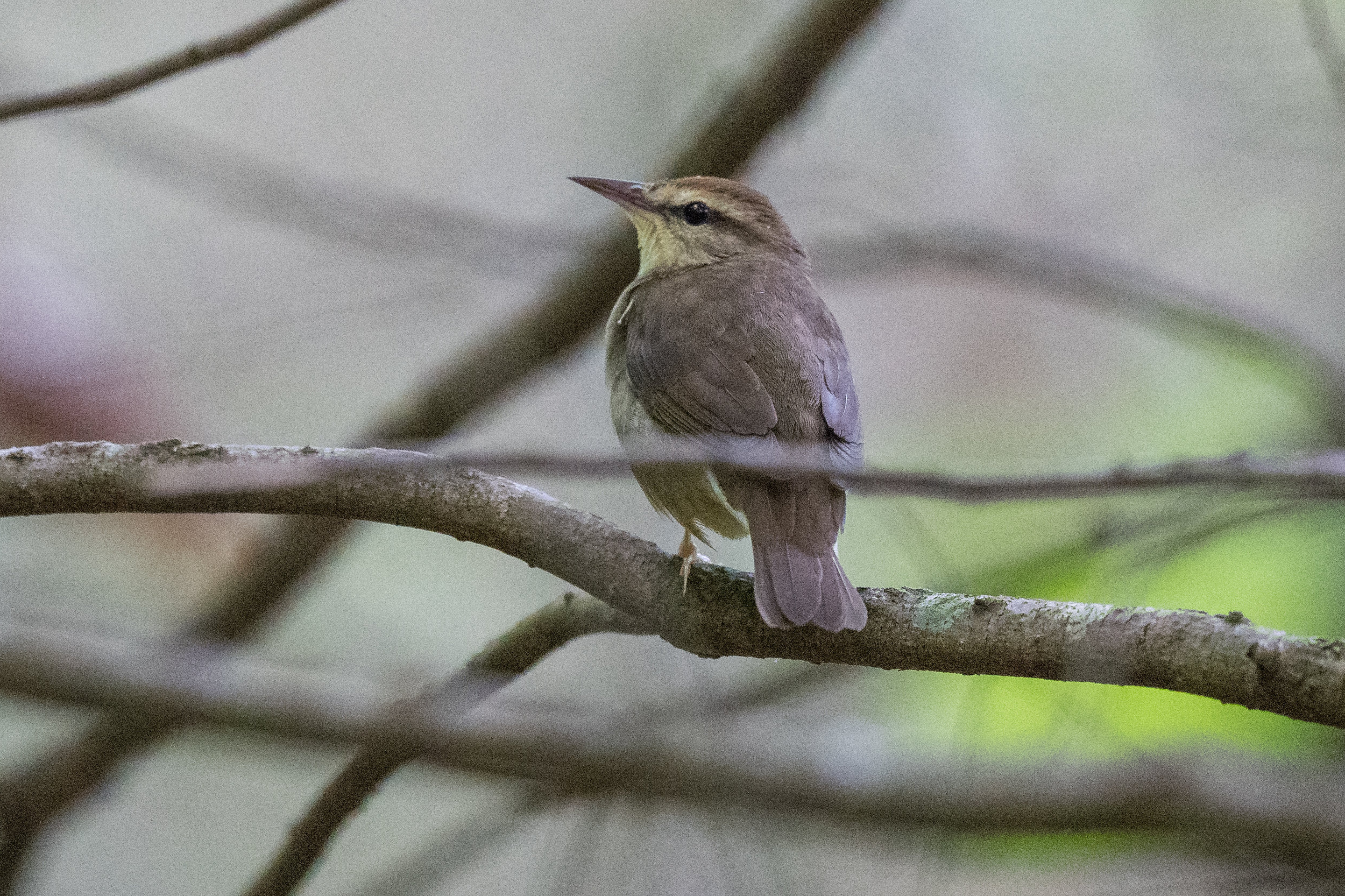 Swainson's Warbler (Limnothlypis swainsonii), Red River Gorge - Rock Bridge Road, WOL (KY)