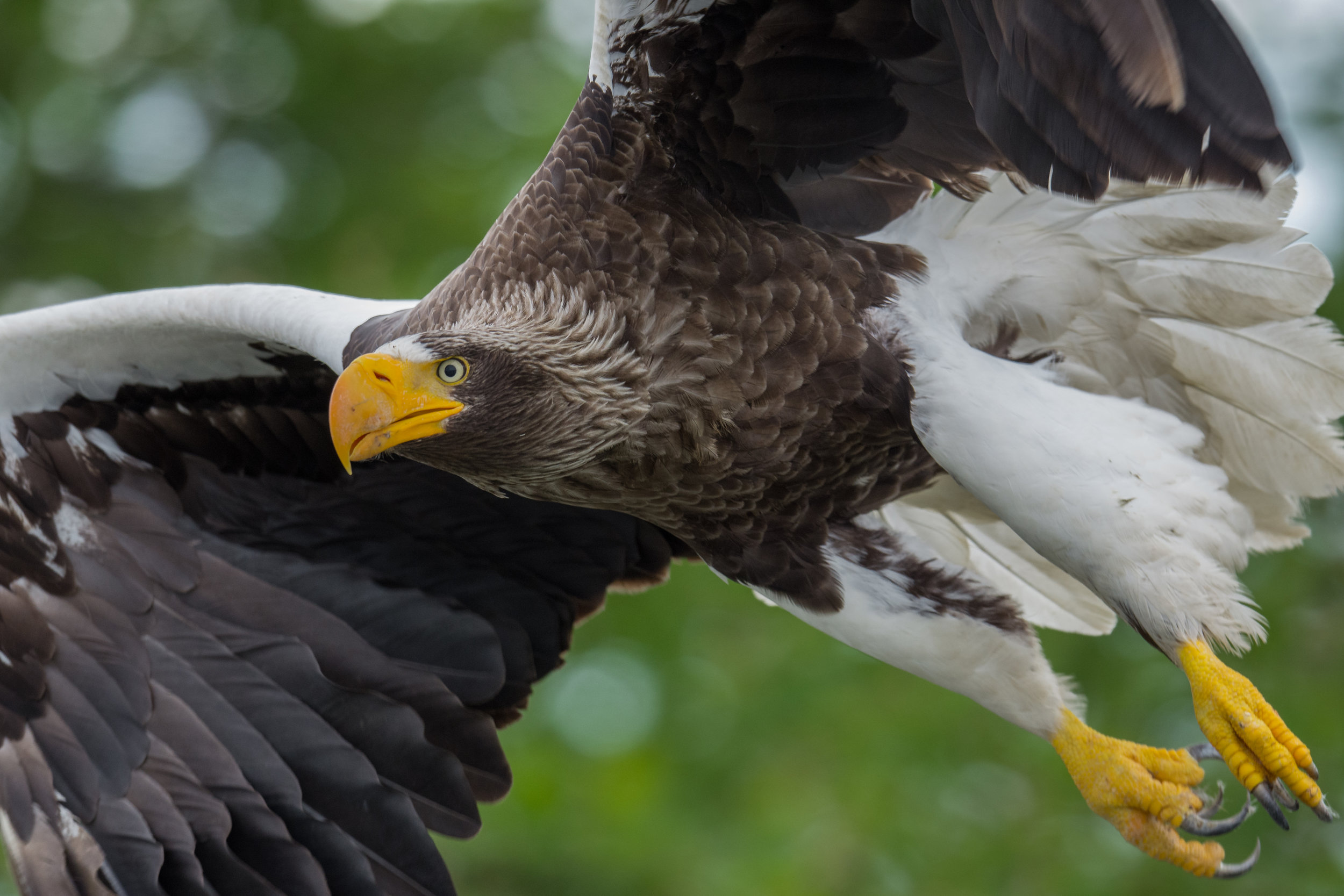 Steller's Sea-Eagle (Haliaeetus pelagicus), Zhupanova River, KAM (RU)
