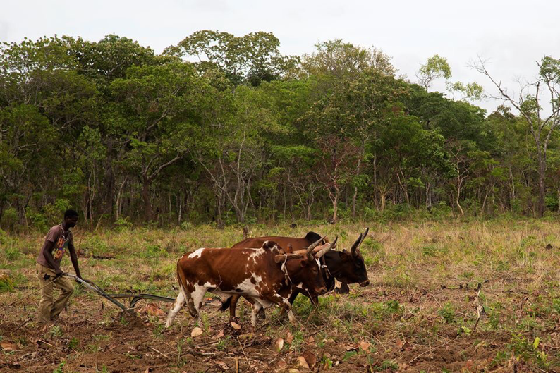 Frank Banda guides a team of oxen, plowing the field at Chasefu Model Farm in preparation for planting maize.