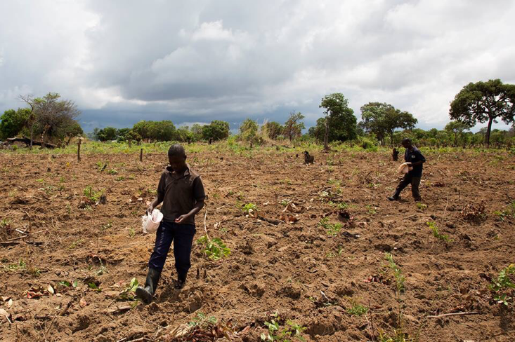 These two men plant maize at Chasefu Model Farm. They make an indentation in the soil with their heel, drop two maize seeds in the hole, cover the seed with soil using their other foot, take a step and repeat the process.
