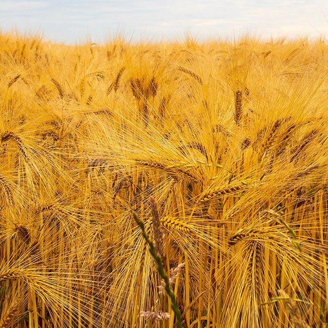 Golden Brown • • • #goldenbrown #golden #wheat #wheatfield #nature #travel #wales #sunnyday #friends #summertime #beautiful
