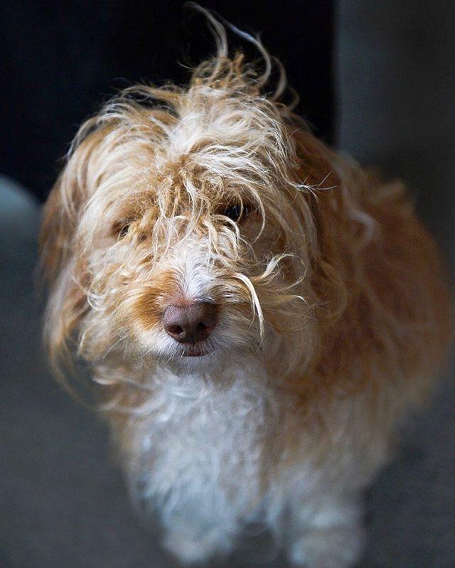 Spike • • • #spike #sproodle #poodle #spaniel #cross #confused #friend #love #dogsofinstagram #fluffyfriend #romsey
