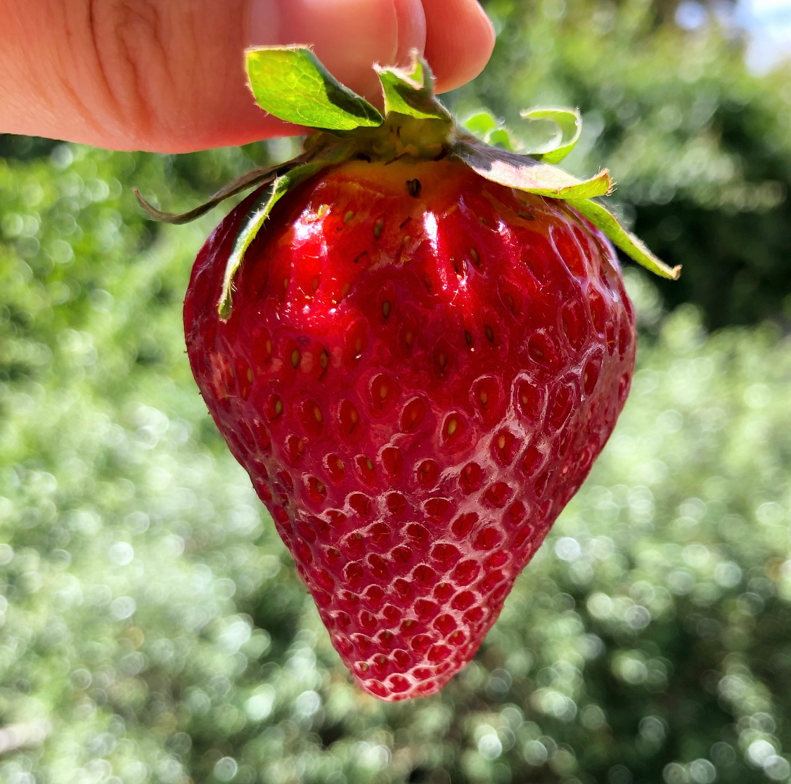 Local, organic strawberry from Coke Farms