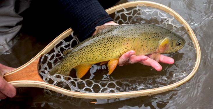 Cutthroat trout are named for a bright orange gash along the bottom of their jaw. While each strain can hybridize with the other or rainbow trout, they have distinct markings in their purest forms. The Snake River cutthroat, shown here, has fine, concentrated spots. The Bonneville cutthroat, on the other hand, has fewer larger spots and elliptical par marks along its sides.