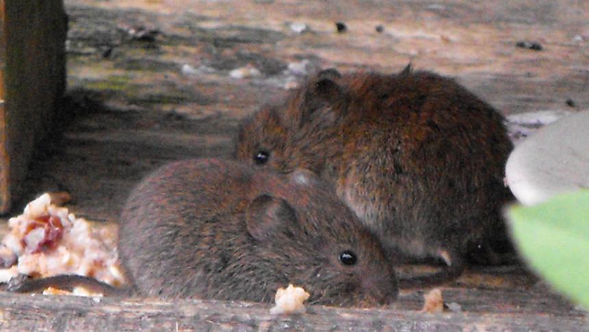 Prairie voles. Photo © Dave Challender through a Creative Commons license