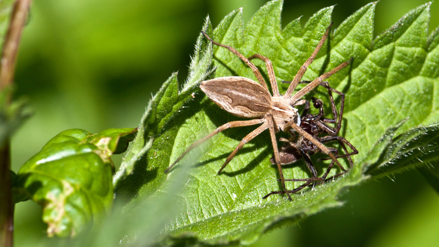 A female nursery web spider consumes a male after mating. Photo © Tony Court / Flickr through a Creative Commons license
