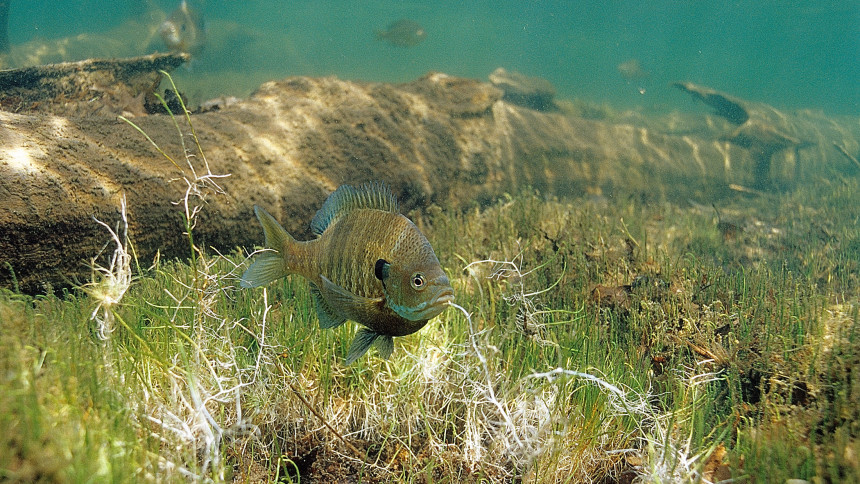 A male bluegill guards his spawning bed. Photo © Eric Engebretson / Engebretson Underwater Photography used with permission