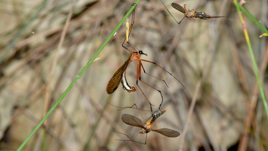 A hangingfly has caught a crane fly as a gift for a female. Photo © Jean and Fred / Flickr through a Creative Commons license