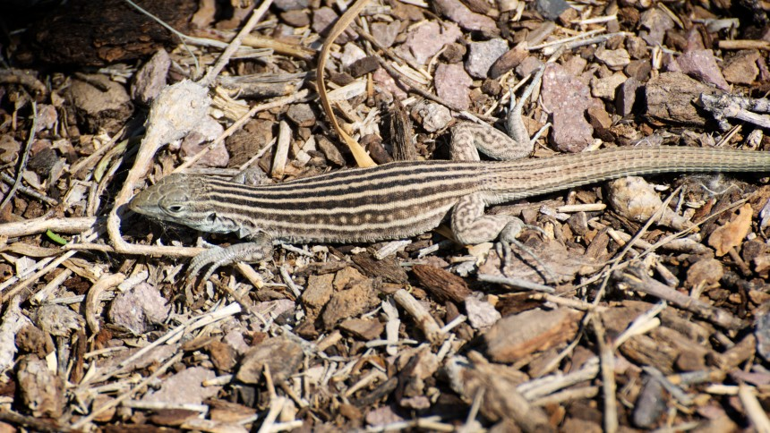 New Mexico Whiptail (Cnemidophorus neomexicanus). Photo © Roger Shaw / Flickr through a Creative Commons license