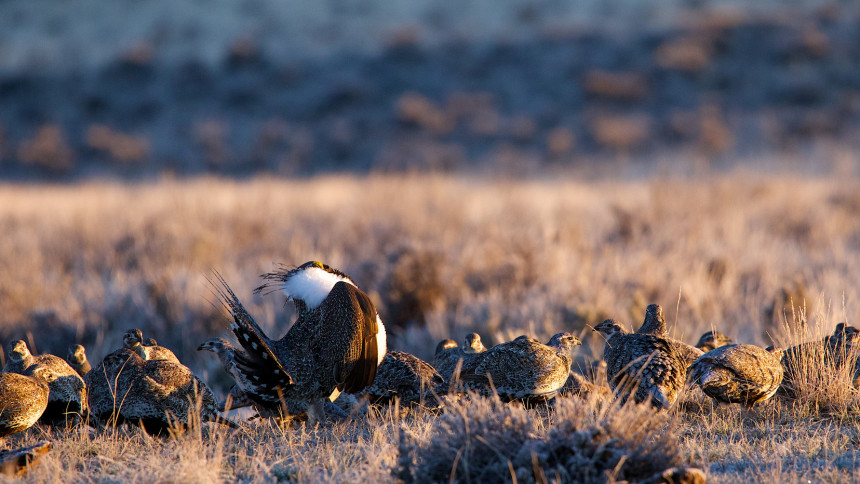 Scenes at a sage-grouse lek in breeding season. Fremont County, Wyoming. Photo © Alan Krakauer / Flickr through a Creative Commons license