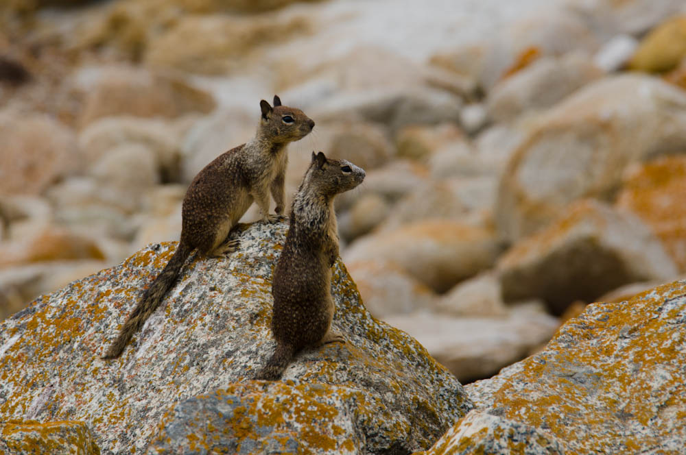A couple of ground squirrels at Bird Rock, Monterey, CA, USA