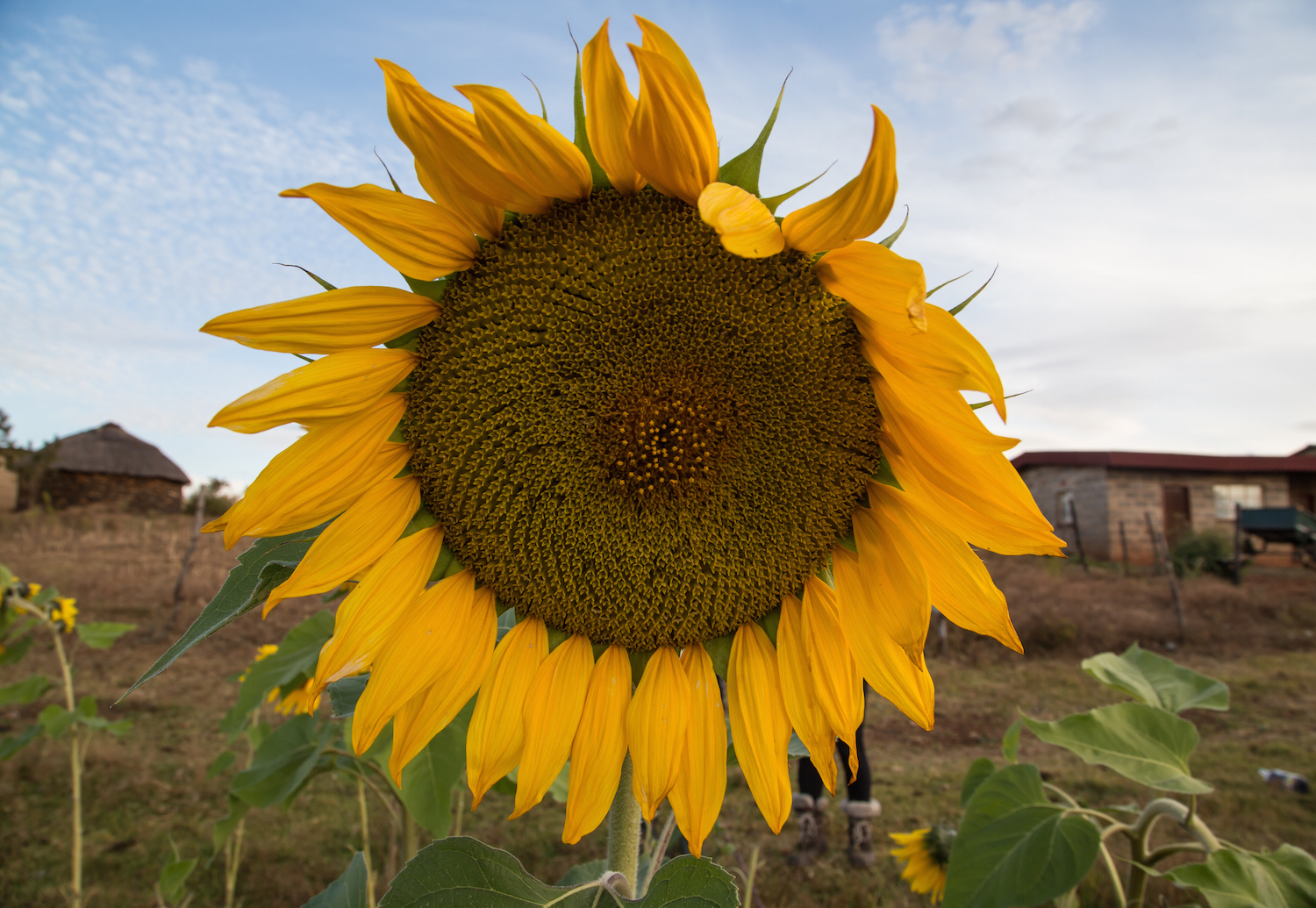 sunflowers2.jpg