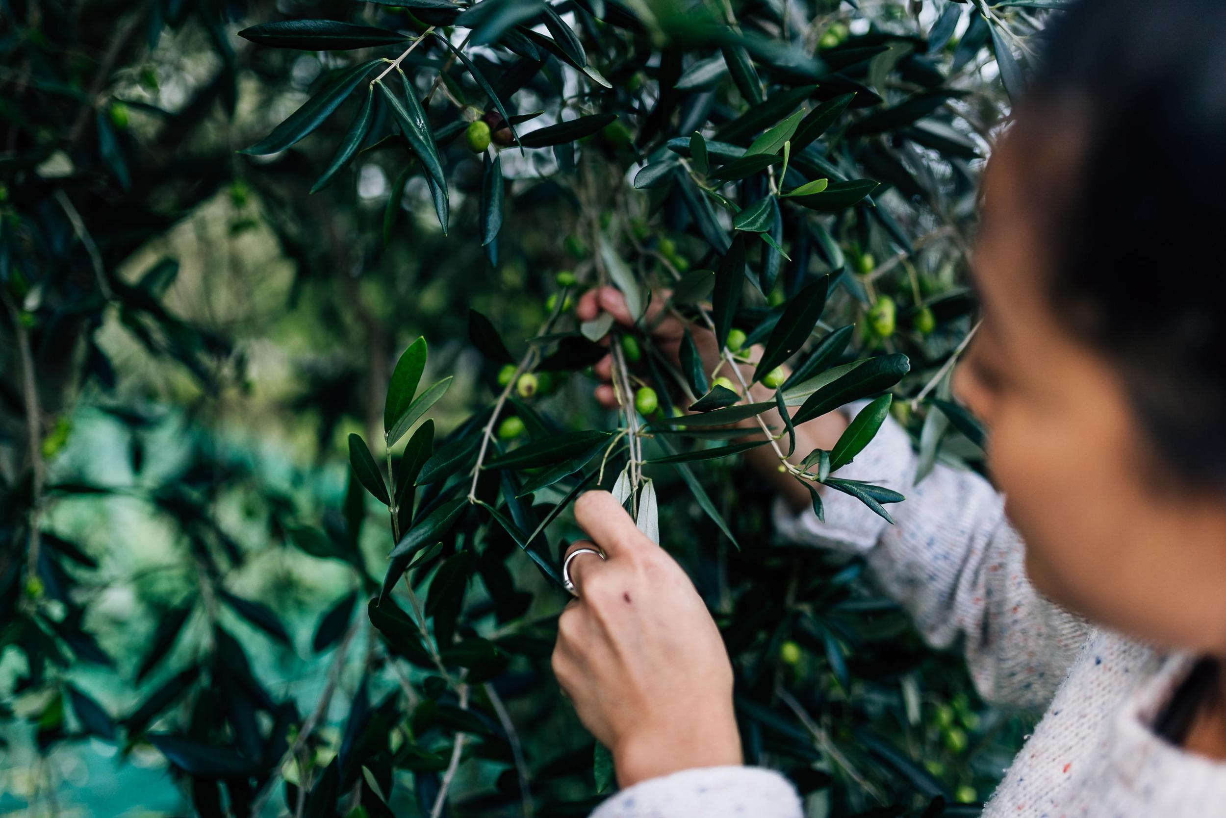 Olive Pick-8.jpg