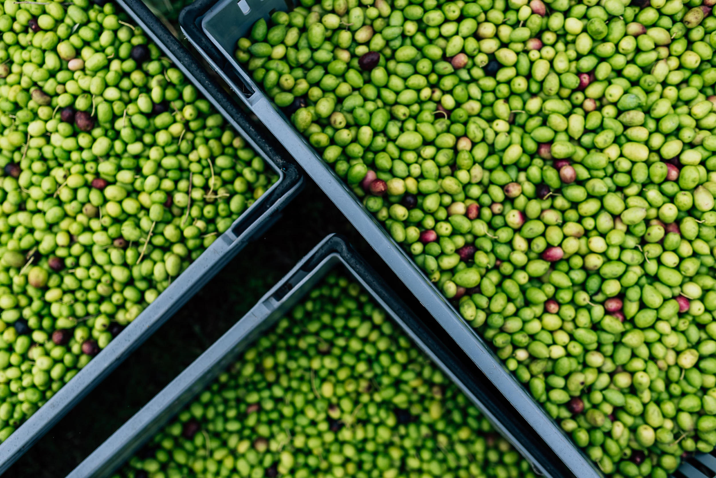 Olive Pick-11.jpg