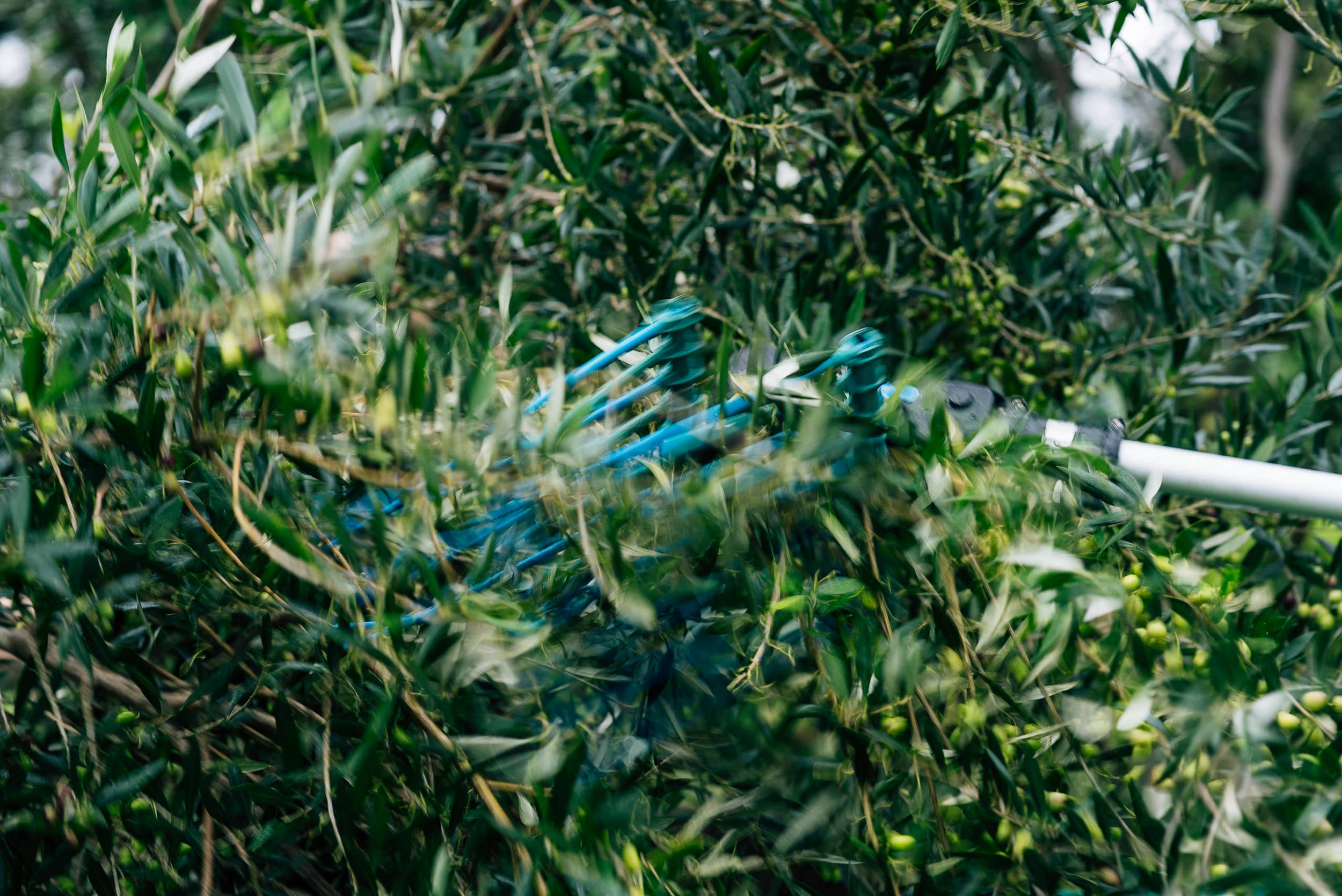 Olive Pick-16.jpg