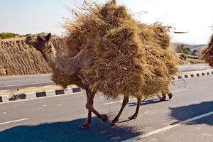 Straw_Camel_Rohit_Flickr.jpg