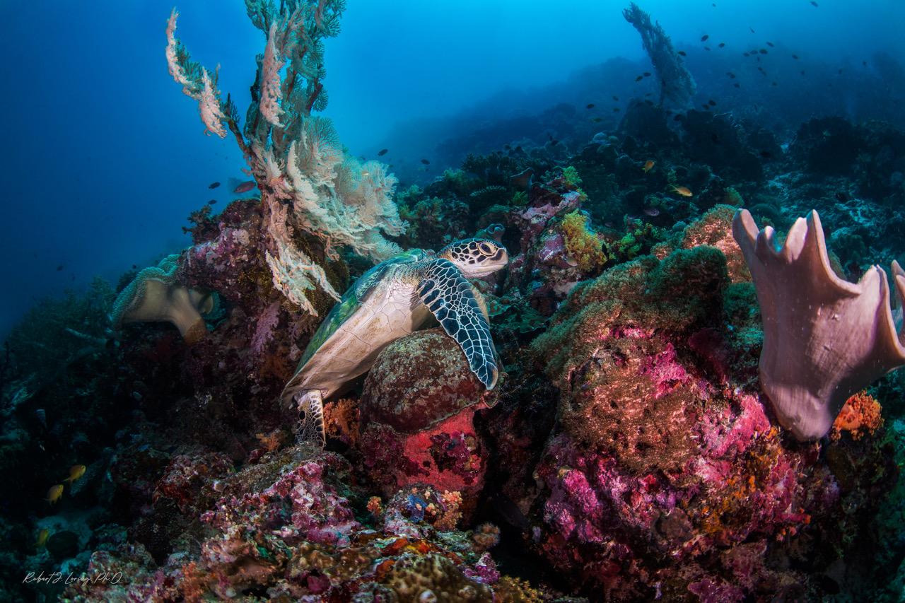 6-Green sea turtle.jpeg