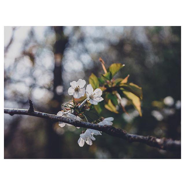 Spring whites. . . . . . . . . #gloomandglow #awakethelight #jeweledlight #chasinglight #subjectlight #mystoryoflight #lightinspired #momentsofmine #theartofslowliving #seekthesimplicity #embracingtheseasons #livethelittlethings #littlestoriesofmylife #aquietstyle #distractionsandinspirations #simplepleasures #macro_moms #cameramama #momtogs