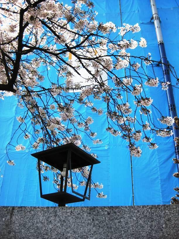Sakura with construction site