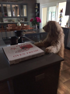 Louie's friend Enzo the GoldenDoodle, who lookslike he's about to enjoy a delicious pizza here...