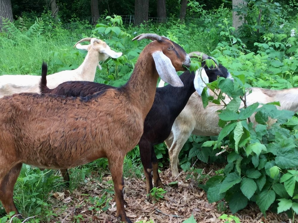 Goats From Herds Of Hope (All photos courtesy of my sister's sister-in-law.)