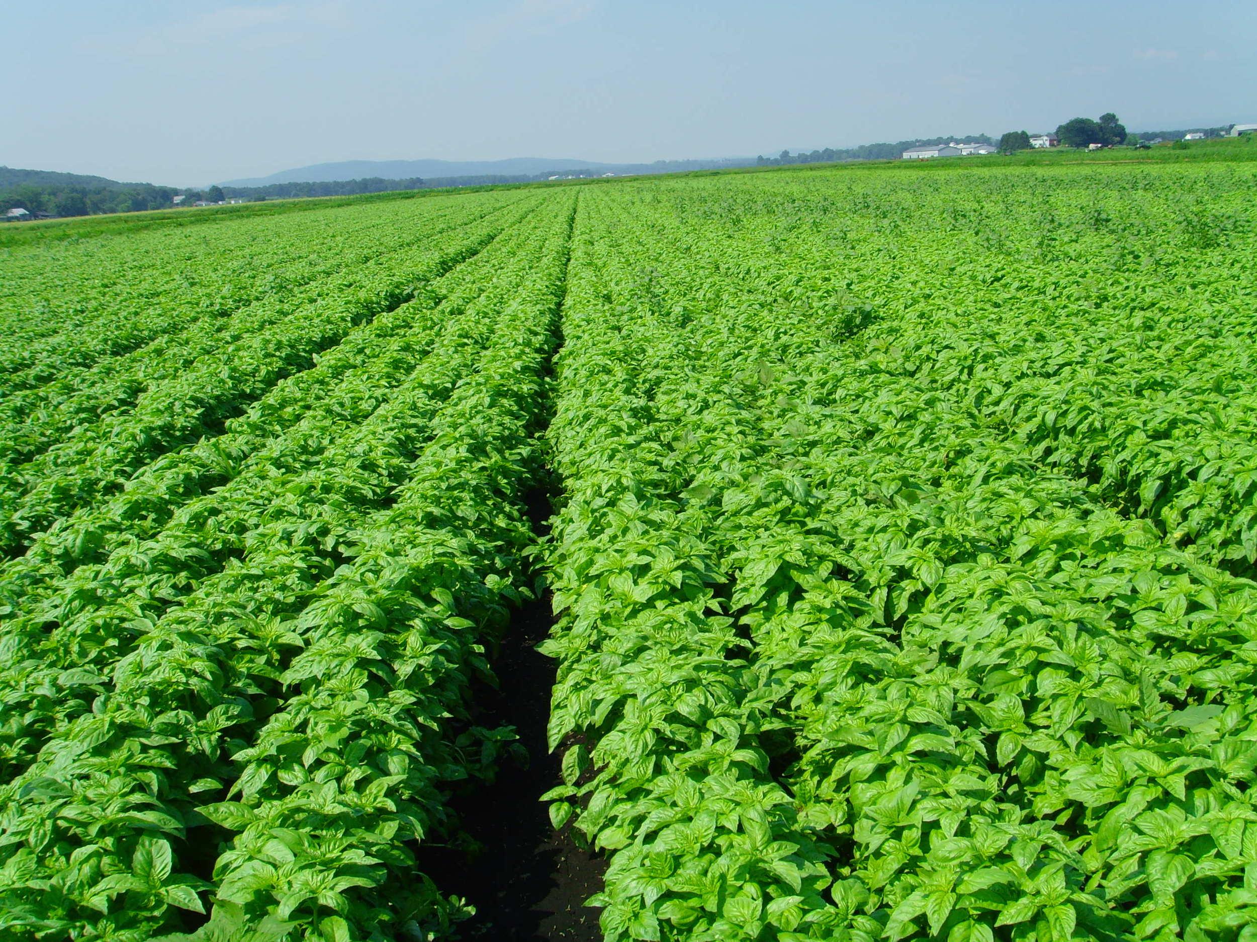Basil being seeded in field 003.jpg