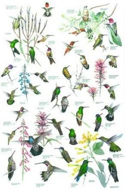 hummingbird species