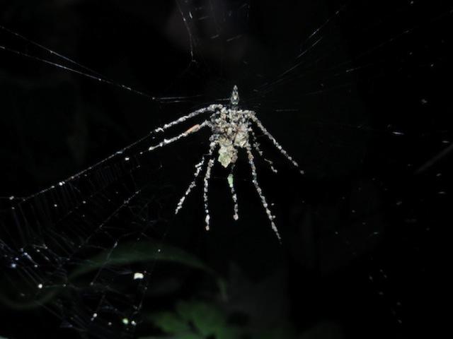 Decoy Building Spider