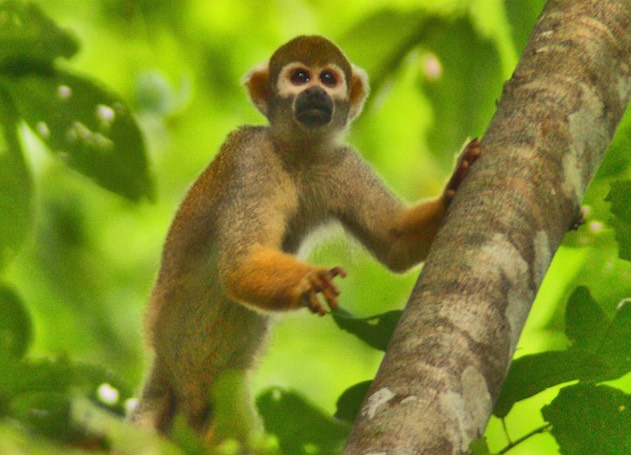 Amazon Monkeys
