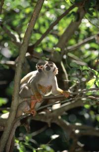 monkeys treetop