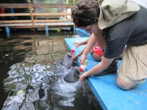 Feeding Baby Manatees