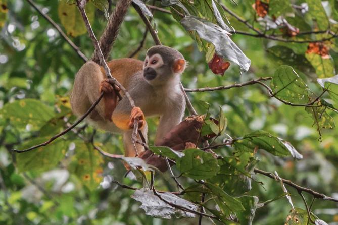 Monkey in Treetop Canopy