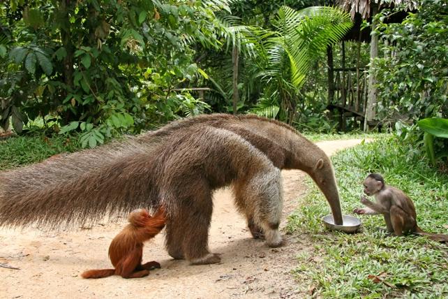 Giant Anteater at Pilpintuwasi