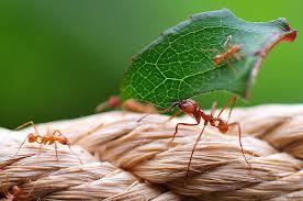 jungle ants