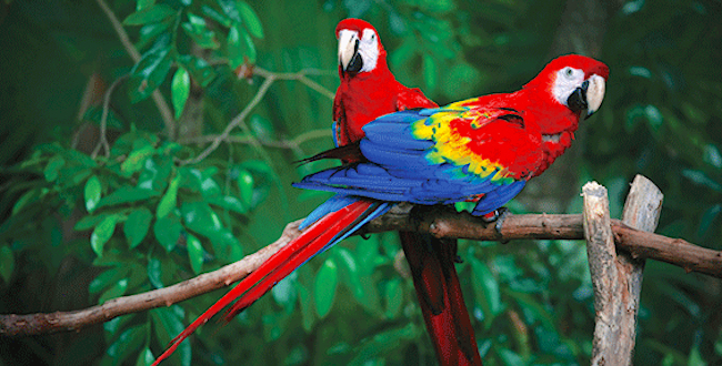 Peru Amazon Cruises Macaws