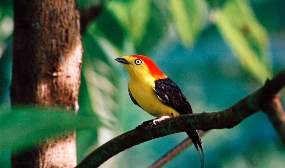Amazon Rainforest Birding