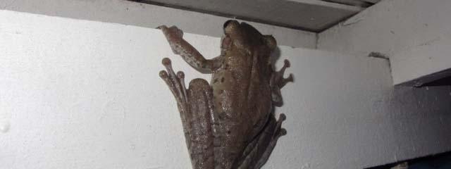 Lo Peix Frog