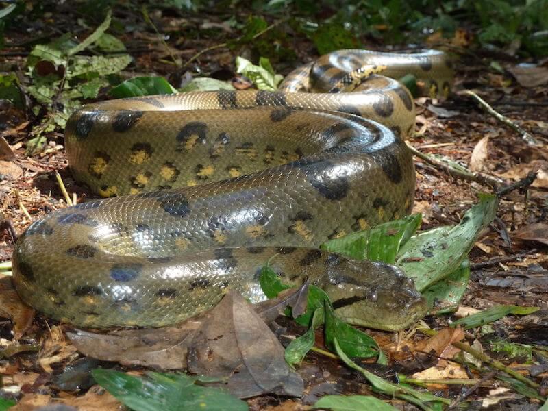 The Green Anaconda (Eunectes murinus)