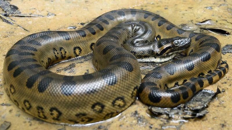 Green Anaconda in Water