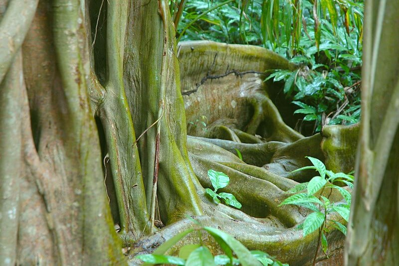 Buttress Tree Root