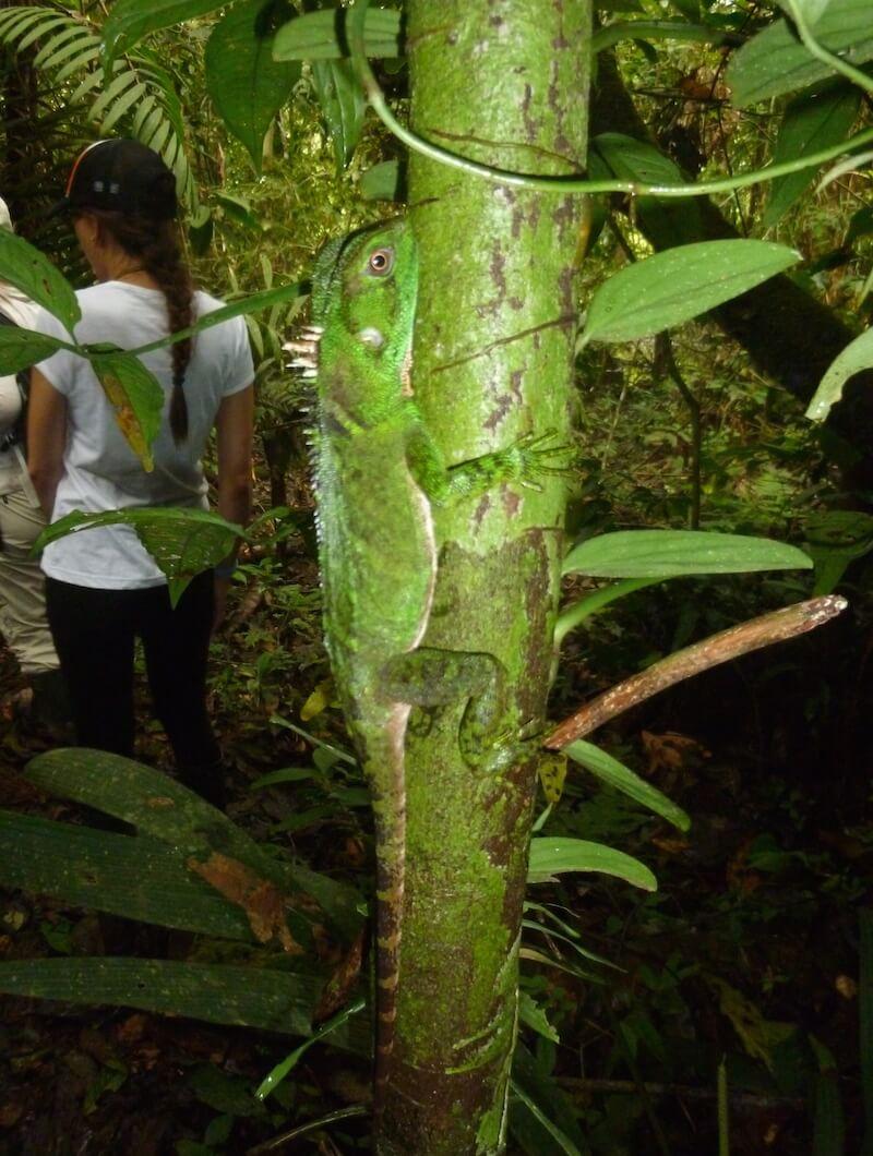 Amazon Tree Iguana