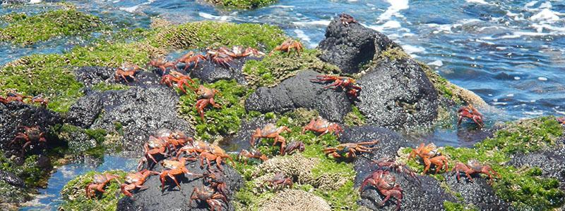 Galapagos Sally Lightfoot crabs