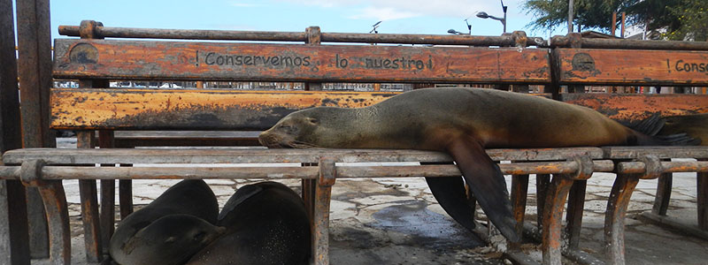 Galapagos Island sea lions