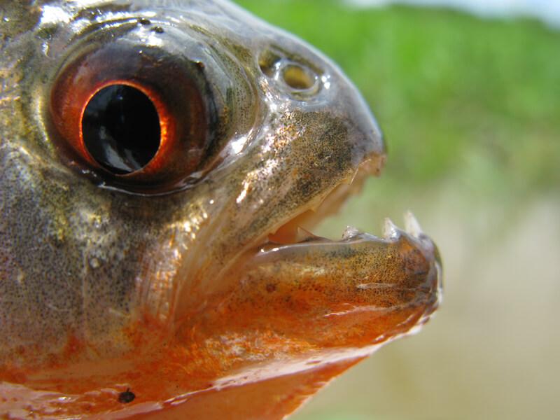 Red-Bellied Piranha-Pygocentrus nattereri