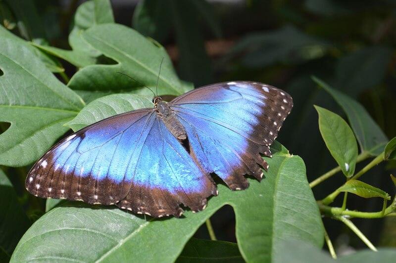 Blue Morpho Butterfly-Morpho peleides