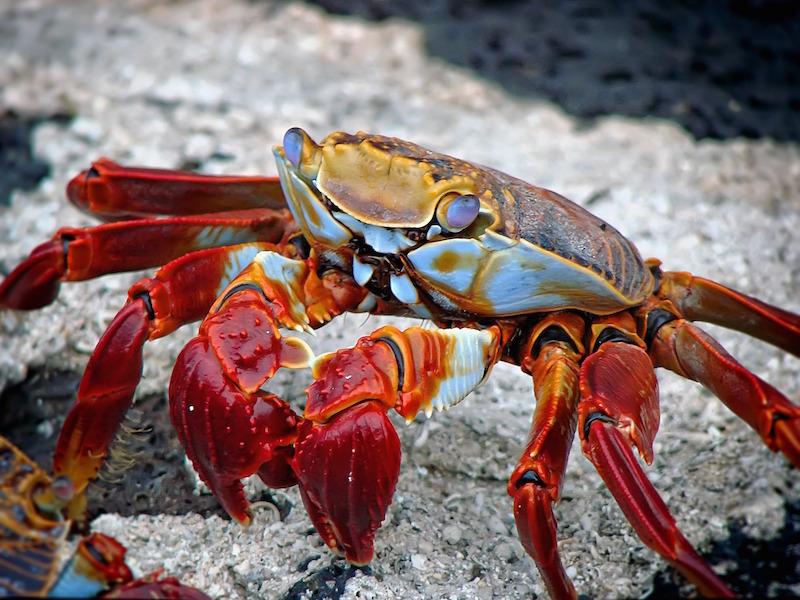 Light Foot Crab–Grapsus grapsus