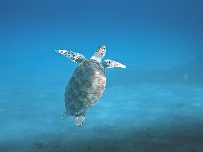 Galapagos Green Turtle–Chelonia agassizii
