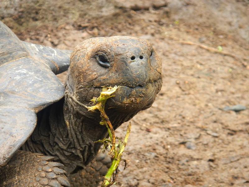 Giant Galapagos Tortoise–Chelonoidis nigra